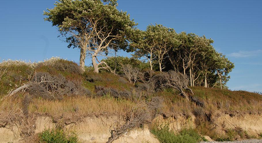 Urwüchsige Natur mit Ostseestrand, Steilküste und knorrigen alten Bäumen